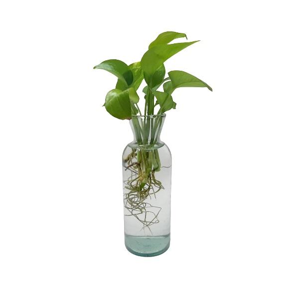گیاه طبیعی پتوس کد GLPT
