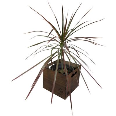 گیاه طبیعی دراسنا پرچمی ناردونه کد M01