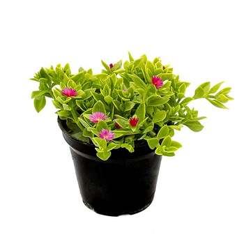 گل طبیعی ناز مدل AMS01