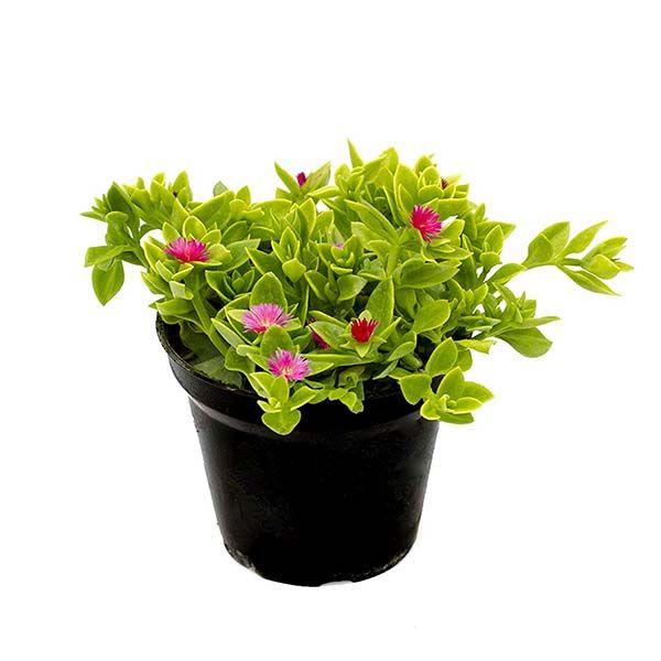 گل طبیعی ناز مدل AMS01 main 1 1