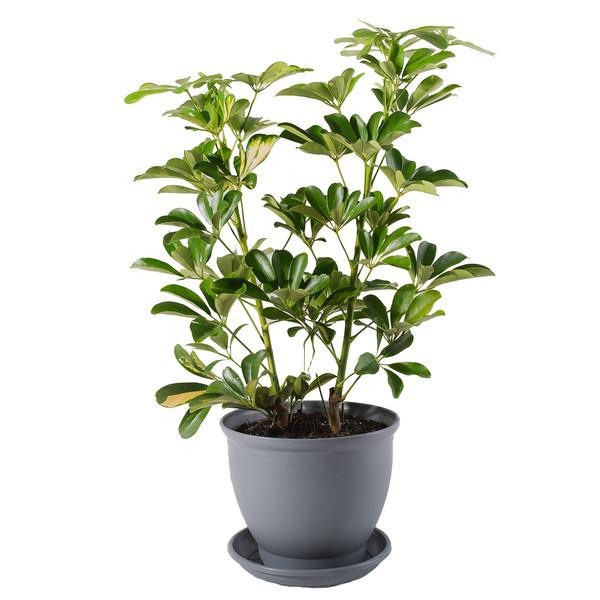گیاه طبیعی شفلرا مدل P-06