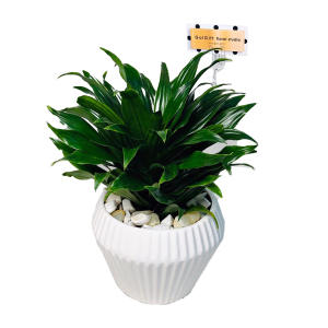 گیاه طبیعی کامپکت دراسنا گل گیفت کد GP008
