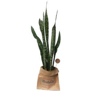 گیاه طبیعی سانسوریا شمشیری کدP.A.011