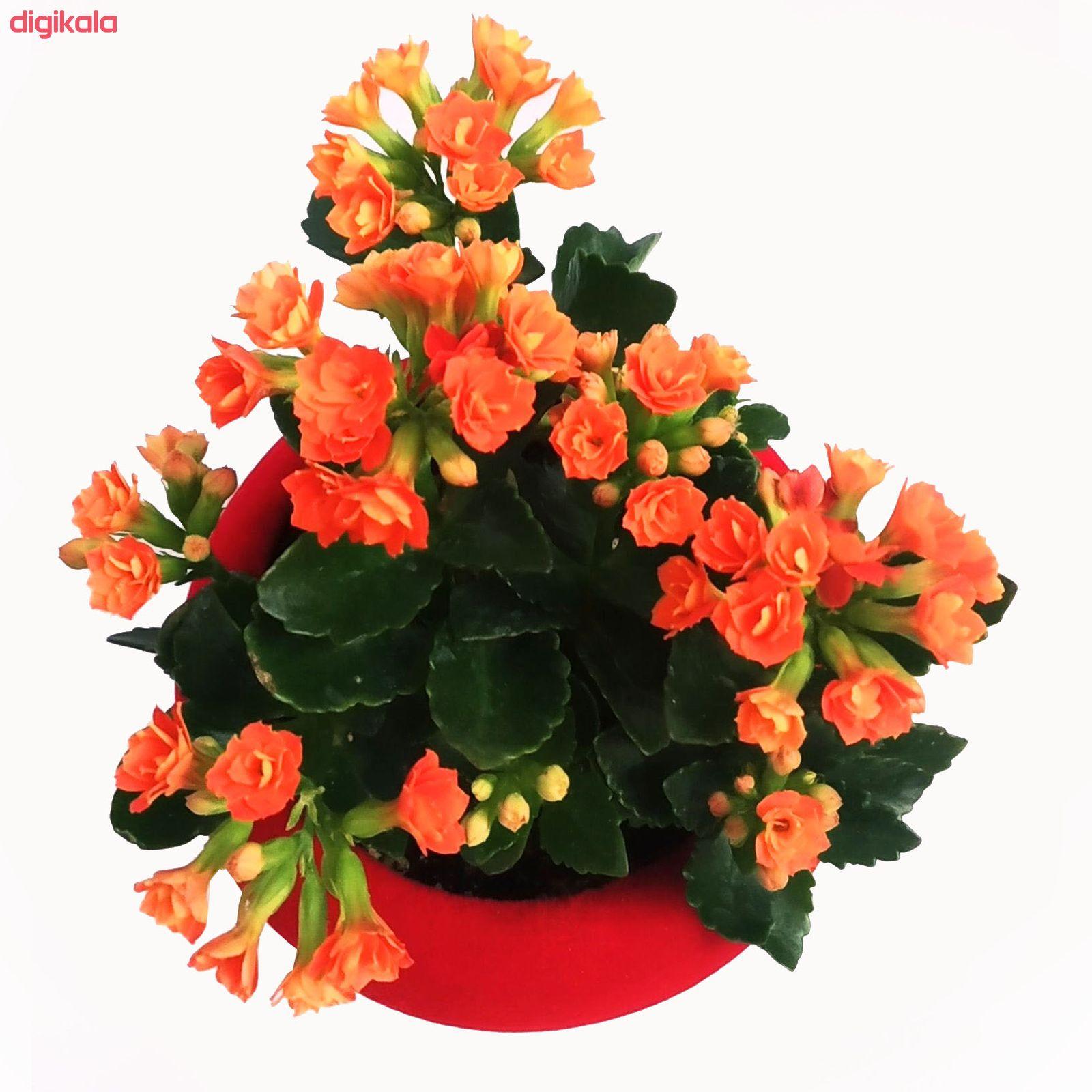 گیاه طبیعی کالانکوا مدل A-10 main 1 1
