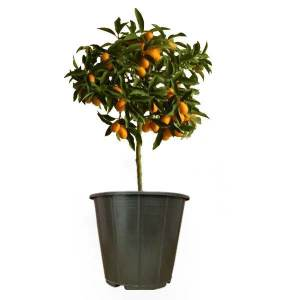 گیاه طبیعی کام کوات مدل AMS40