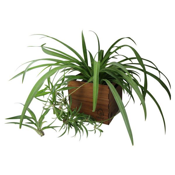 گیاه طبیعی گندمی ناردونه کد S - M01