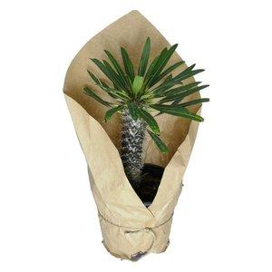 گیاه طبیعی نخل ماداگاسکار کد qq16