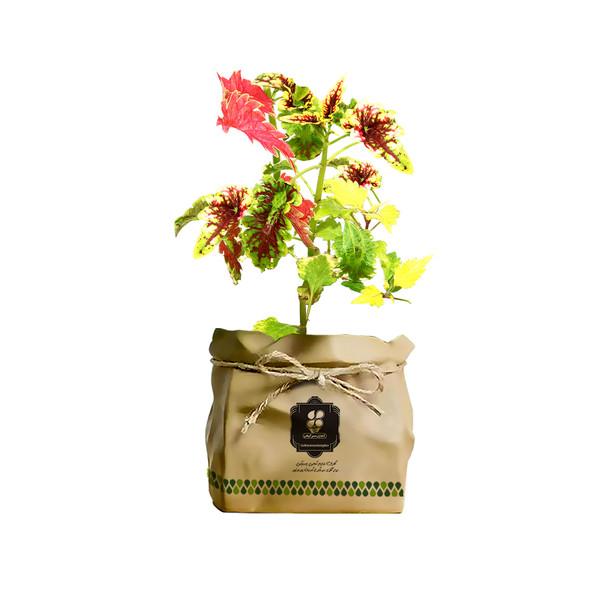 گیاه طبیعی حسن یوسف ابلق گلباران سبز گیلان مدل GN13-29AK